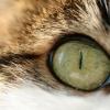 Как лечить глаза у кота