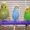 Как определить, молодой попугай или нет