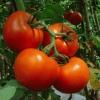 Как правильно поливать рассаду помидоров