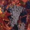 Как сделать вино из винограда изабелла