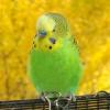 По каким причинам умирают волнистые попугаи